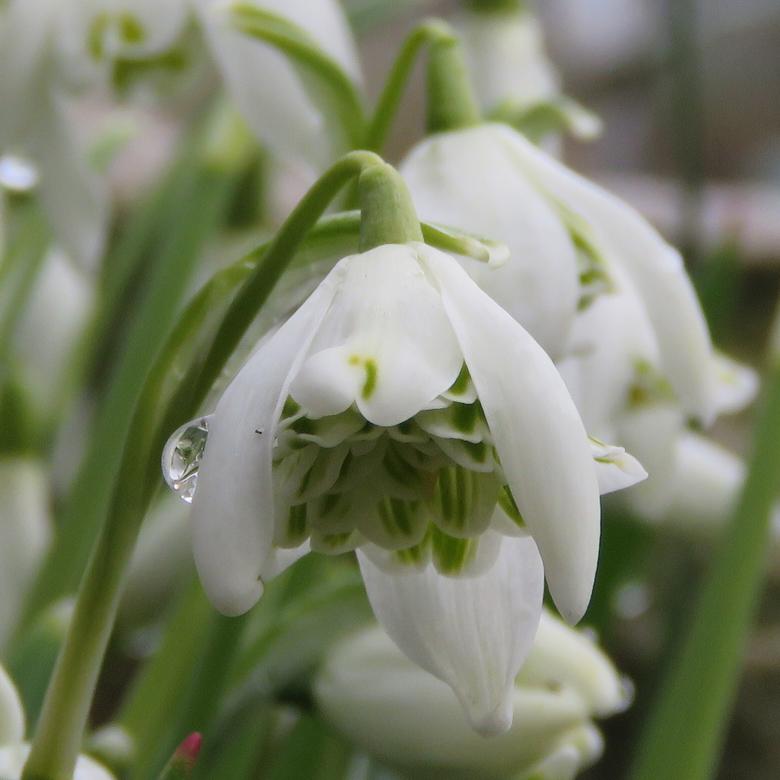 Fylld snödroppe (Galanthus nivalis f. 'pleniflorus Flore Pleno'). Foto: Dan Abelin.