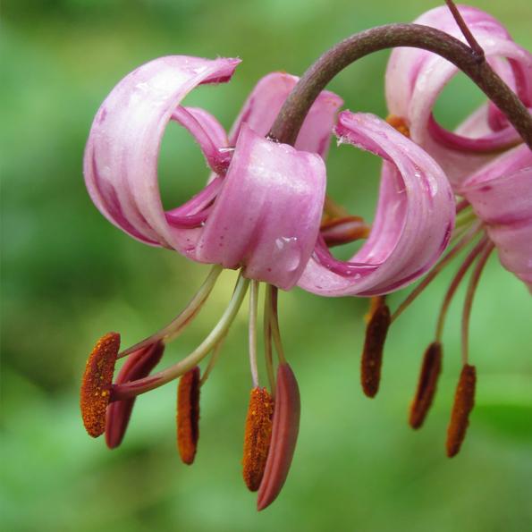Krollilja (Lilium martagon). Foto: Dan Abelin.