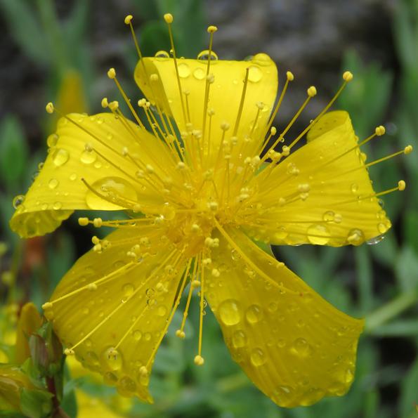 Olympjohannesört (Hypericum olympicum). Foto: Dan Abelin.