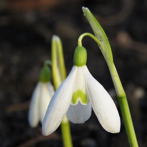 Höstsnödroppe (Galanthus reginae-olgae). Foto: Dan Abelin.