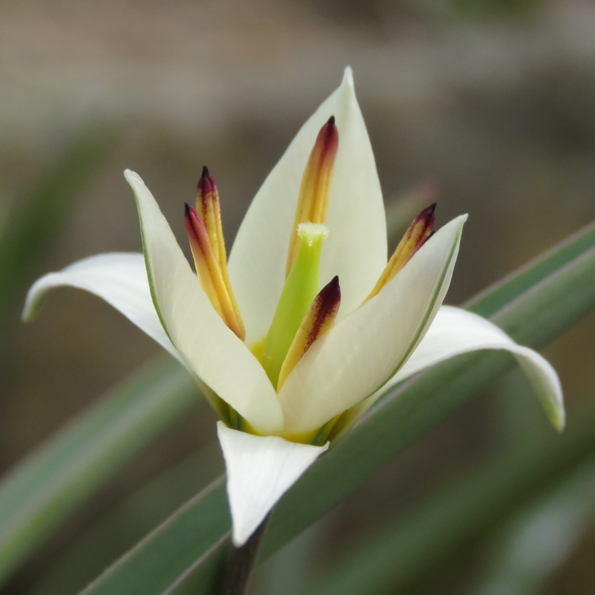 Dvärgtulpan (Tulipa turkestanica). Foto: Dan Abelin.