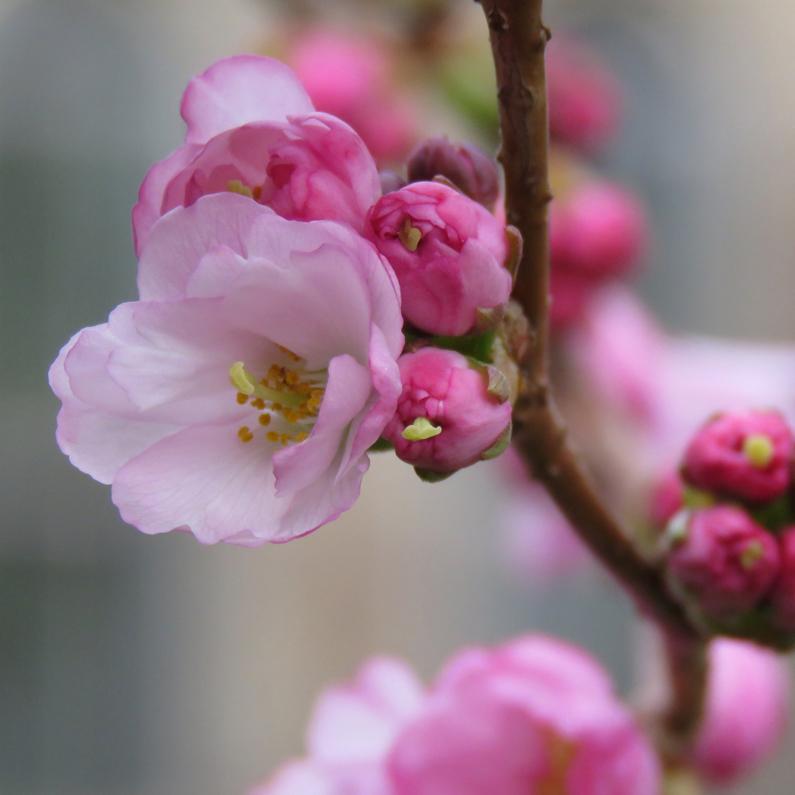 Japanskt prydnadskörsbär (Prunus Sato-zakura-Gruppen). Foto: Dan Abelin.