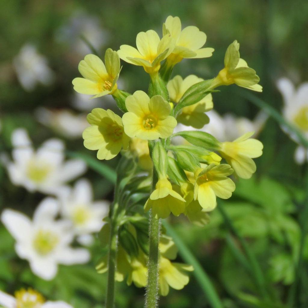 Lundviva (Primula elatior). Foto: Dan Abelin.