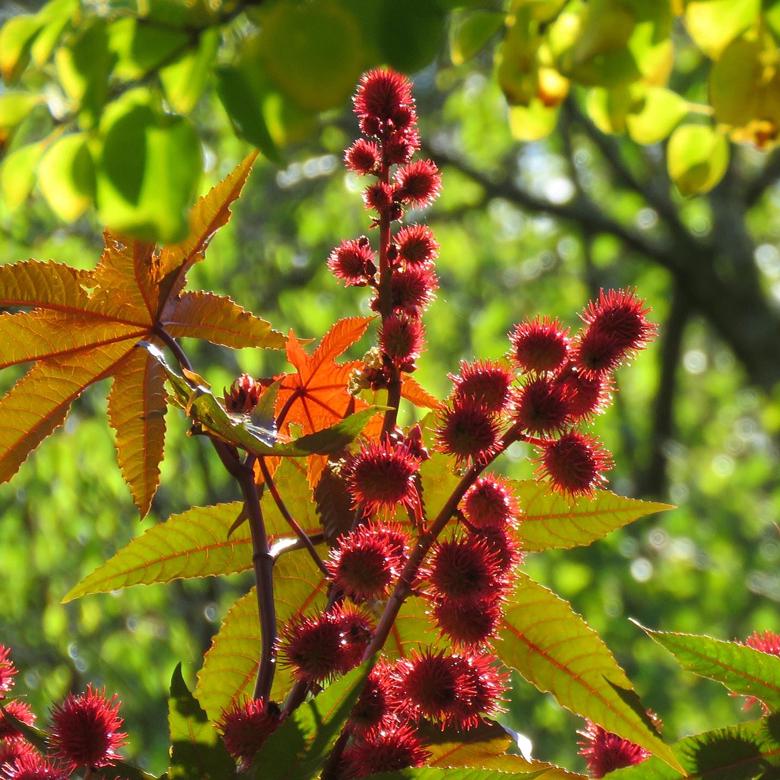 Ricin (Ricinus communis). Foto: Dan Abelin.