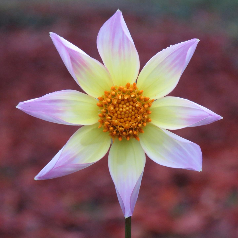 Dahlia x pinnata 'Trelyn Seren'. Foto: Dan Abelin.