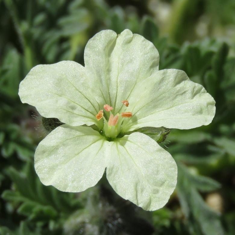 Svavelnäva (Erodium chrysanthum). Foto: Dan Abelin.