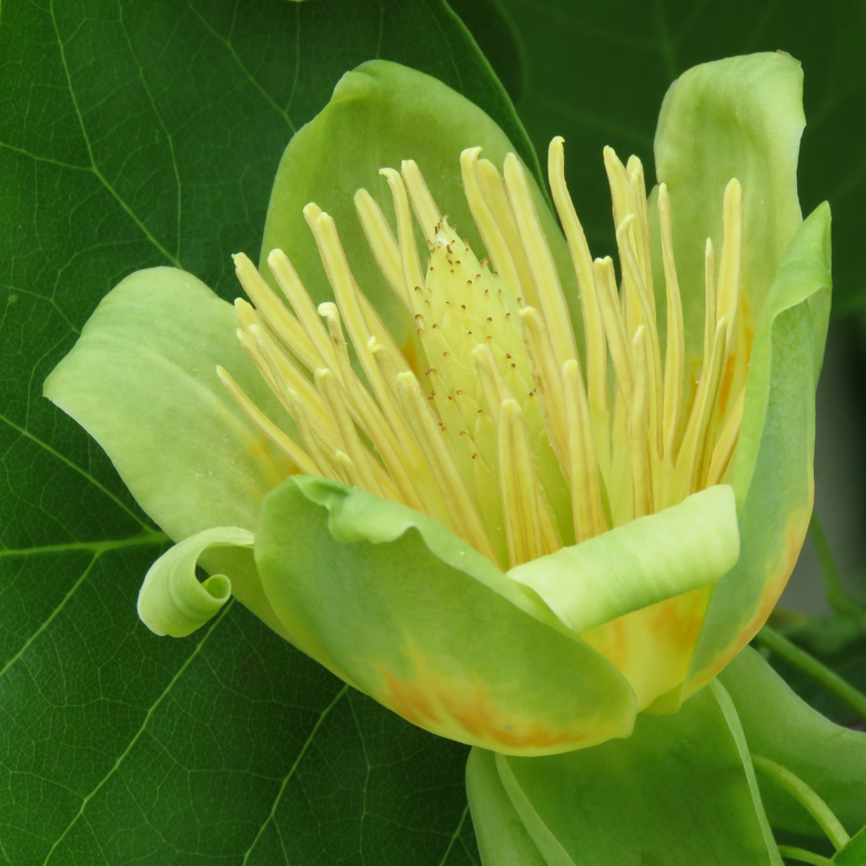 Tulpanträd (Liriodendron tulipifera). Foto: Dan Abelin.