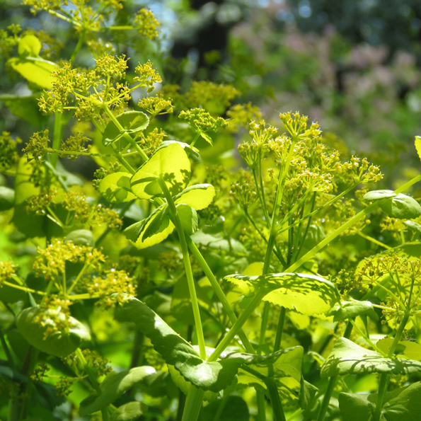 Vingloka (Smyrnium perfoliatum). Foto: Dan Abelin.