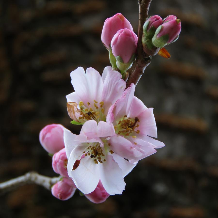 Blommande prydnadskörsbär i januari 2020 (Prunus 'Accolade'). Foto: Dan Abelin.