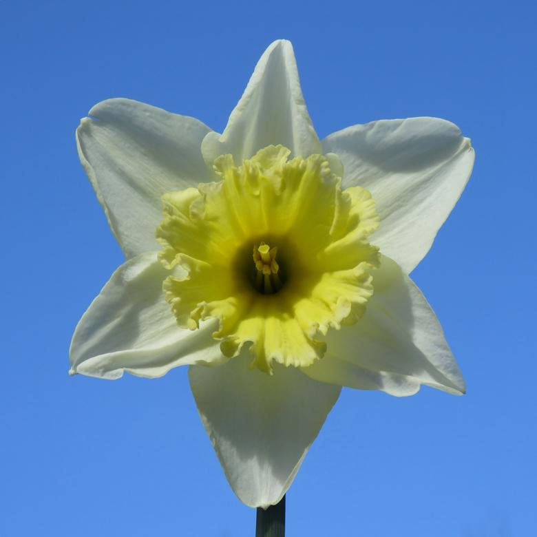 Trumpetnarciss (Narcissus sp.). Foto: Dan Abelin.