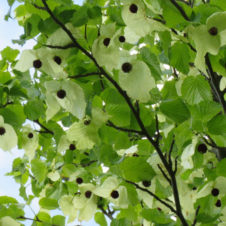 Näsduksträd (Davidia involucrata var. vilmoriniana). Foto: Dan Abelin.